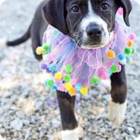 Adopt A Pet :: Helix (POM JS) - Harrisonburg, VA