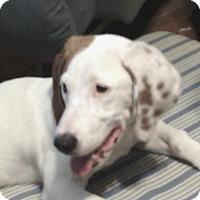 Adopt A Pet :: Miss Scooby - Little Rock, AR