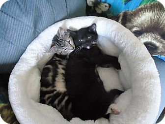 Domestic Shorthair Kitten for adoption in Dale City, Virginia - Thunder and Charlie