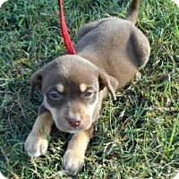 Labrador Retriever/Doberman Pinscher Mix Puppy for adoption in Allentown, New Jersey - Melody