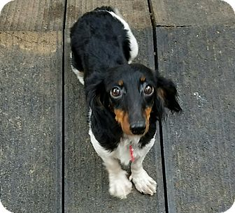 Dachshund Dog for adoption in Hurst, Texas - Rosa