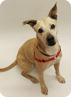 Labrador Retriever Mix Dog for adoption in Sedona, Arizona - Jazzy