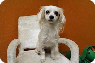 Chihuahua Mix Dog for adoption in Windsor, California - Bella