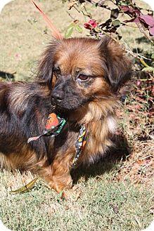 Pekingese/Spaniel (Unknown Type) Mix Dog for adoption in Poughkeepsie, New York - Maggs
