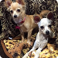 Chihuahua Mix Puppy for adoption in Santa Monica, California - Cha Cha