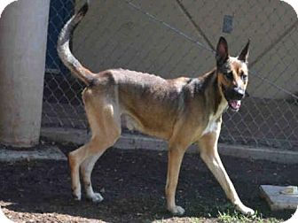 German Shepherd Dog Mix Dog for adoption in Plano, Texas - BRUNO