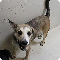Shepherd (Unknown Type) Mix Dog for adoption in Odessa, Texas - A02 Katie