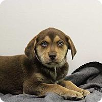 Adopt A Pet :: Trevor - Harrisonburg, VA
