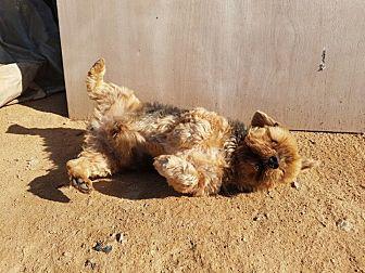 Yorkie, Yorkshire Terrier Mix Dog for adoption in Oakton, Virginia - Tobby