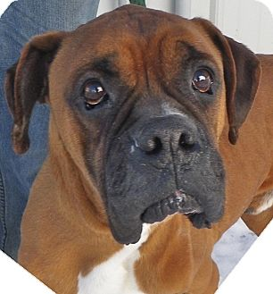 Boxer Dog for adoption in Metamora, Indiana - Trooper