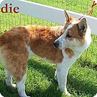 Adopt A Pet :: Sadie - Justin, TX