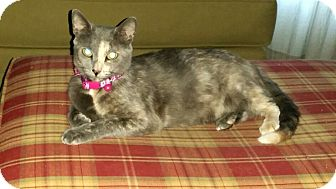 Domestic Shorthair Cat for adoption in Winterville, North Carolina - Dame Judy