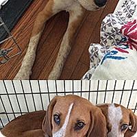 Adopt A Pet :: Peter - Chantilly, VA