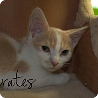 Adopt A Pet :: Socrates - Middleburg, FL