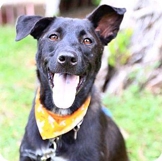 Labrador Retriever/Border Collie Mix Dog for adoption in San Francisco, California - Lambo