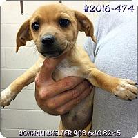Adopt A Pet :: 2016-474 - Bonham, TX