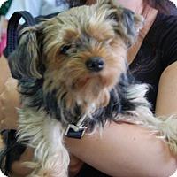 Adopt A Pet :: Piggie - Brooklyn, NY