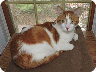 Domestic Shorthair Cat for adoption in Barrington Hills, Illinois - Oscar