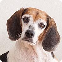 Adopt A Pet :: Mellee - Sudbury, MA