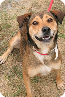 Hound (Unknown Type)/Shepherd (Unknown Type) Mix Dog for adoption in Staunton, Virginia - Anya