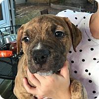 Adopt A Pet :: Jasper Puppy - Fairfax Station, VA
