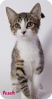 Domestic Shorthair Cat for adoption in Baton Rouge, Louisiana - Peach