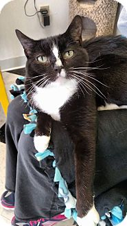 Domestic Shorthair Cat for adoption in Austintown, Ohio - Cecillia