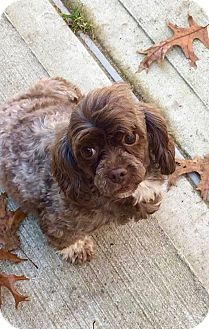 Cocker Spaniel Mix Dog for adoption in Smithtown, New York - Kahula - dog