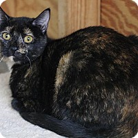 Domestic Shorthair Kitten for adoption in Hammond, Louisiana - Annie