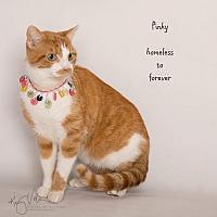 Domestic Shorthair Cat for adoption in Sherman Oaks, California - Pinky