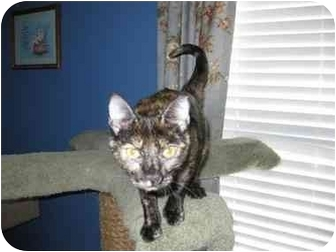 Domestic Shorthair Cat for adoption in Chattanooga, Tennessee - Jo