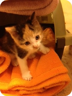 Domestic Shorthair Kitten for adoption in Huntsville, Ontario - Kelly - Born in October 2012!