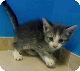 Domestic Shorthair Kitten for adoption in East Brunswick, New Jersey - Bella