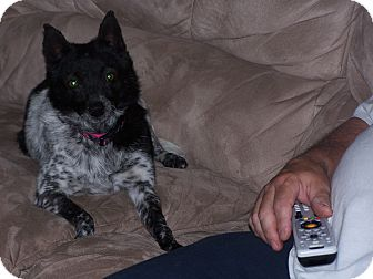 Schipperke/Blue Heeler Mix Dog for adoption in Chewelah, Washington - Ella