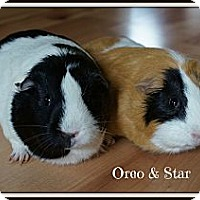 Adopt A Pet :: Oreo & Star - Brooklyn Park, MN
