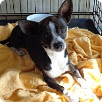Adopt A Pet :: Beau - Only $65 adoption! - Litchfield Park, AZ