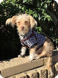 Terrier (Unknown Type, Medium)/Dachshund Mix Puppy for adoption in Costa Mesa, California - skittles
