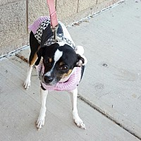 Adopt A Pet :: Missy - Grand Prairie, TX