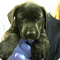 Adopt A Pet :: POOKIE - Atlanta, GA