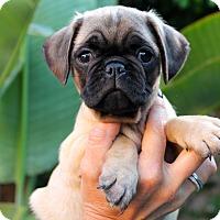 Adopt A Pet :: Pugnelope - Los Angeles, CA