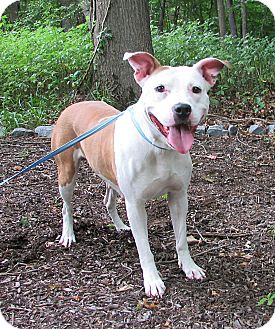 Pit Bull Terrier Mix Dog for adoption in Washingtonville, New York - Sweet Pea