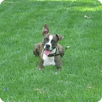 American Pit Bull Terrier Mix Dog for adoption in Gainesboro, Tennessee - Shyloh
