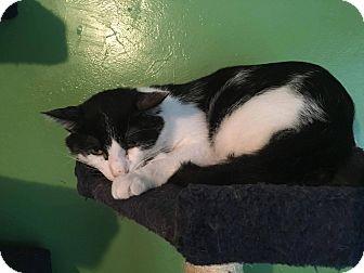 Domestic Shorthair Cat for adoption in Putnam, Connecticut - Glidden