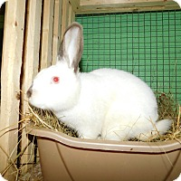 Netherland Dwarf Mix for adoption in Elizabethtown, Kentucky - Snow
