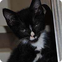 Domestic Shorthair Kitten for adoption in Ridgeland, South Carolina - Moon