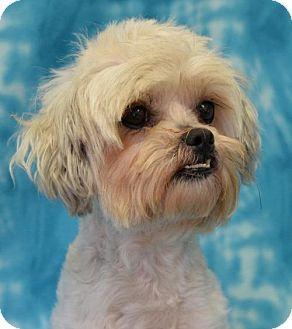 Maltese/Shih Tzu Mix Dog for adoption in Eureka, California - Avery