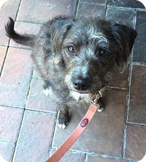 Terrier (Unknown Type, Medium) Mix Dog for adoption in Seattle, Washington - Izzy