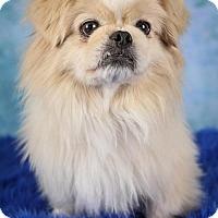 Adopt A Pet :: Bingo - Inver Grove, MN