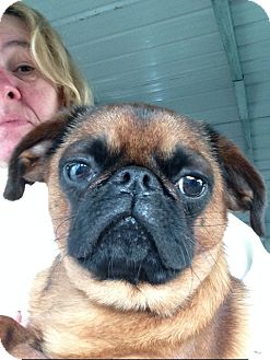 Brussels Griffon Dog for adoption in Cumberland, Maryland - Jofi