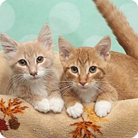 Domestic Shorthair Kitten for adoption in Chippewa Falls, Wisconsin - Carrots